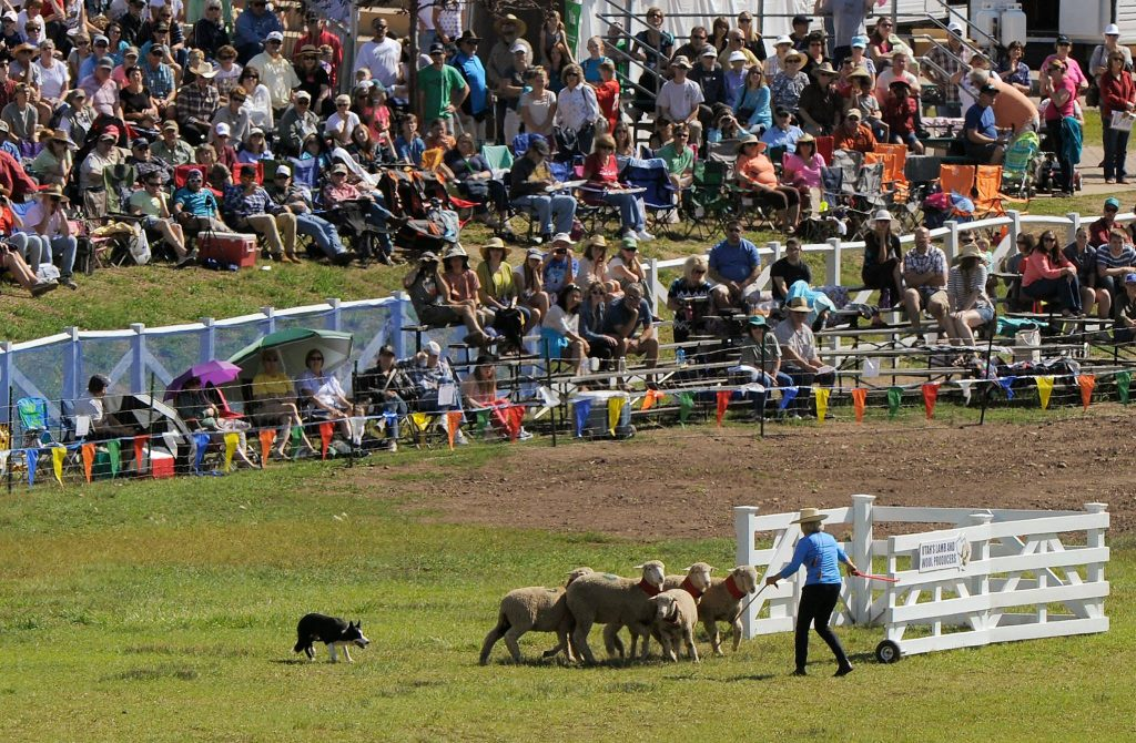 Sheep Dog hearding Sheep at the Sheepdog Classic in Midway near The Homestead Resort